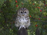 Tawny Owl (Strix Aluco), on Gate with Rosehips, Captive, Cumbria, England, United Kingdom