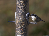 Coal Tit (Parus Ater), Taking Sunflower Seed from Feeder in Winter in the Garden