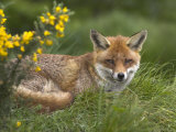 Red Fox, Vulpes Vulpes, Captive, United Kingdom
