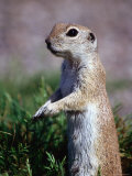 Round-Tailed Ground Squirrel, Sonoran Desert, Arizona
