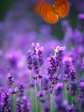 Lavender and Butterflies, Provence-Alpes-Cote d'Azur, France