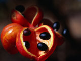 Rainforest Fruit, Cape York Peninsula, Queensland, Australia