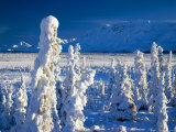 Frozen Spruce Forest, Chugach Mountains, Chugach National Forest, Alaska