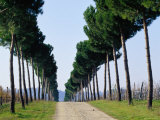 Tree-Lined Entrance to Vineyard, Torgiano, Umbria, Italy