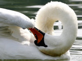 Swan on the river Rhine near Breisach, Germany