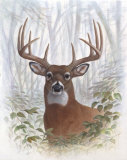 Deer Buck Portrait