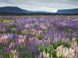 Blooming Lupine Near Town of Teanua, South Island, New Zealand