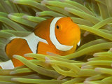 Buy False Clown Anemonefish, Raja Ampat Region of Papua, Indonesia at AllPosters.com