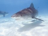 Tiger Sharks, Northern Bahamas