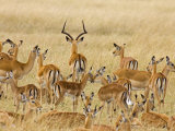 Impalas Roaming the Fields, Maasai Mara, Kenya