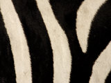 Close-up of Zebra Stripes, Masai Mara, Kenya