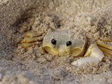 Emerald Beach Sand Crab, Lindergh Bay, St. Thomas, Us Virgin Islands, Caribbean