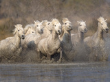 White Camargue Horses Running in Muddy Water, Provence, France