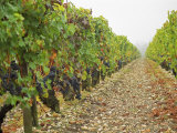 Cabernet Sauvignon Vines with Grapes, Chateau Du Tertre, Margaus, Medoc, Bordeaux, Gironde, France