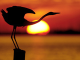 Silhouette of Great Blue Heron Stretching Neck at Sunset, Fort De Soto Park, St. Petersburg