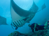 Manta Rays with Diver, Yap Island, Caroline Islands, Micronesia Photographic Print