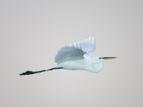 Flying Great Egret in Predawn at the Venice Rookery, South Venice, Florida, USA