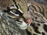Ocelot Female Resting on Mesquite Tree, Welder Wildlife Refuge, Sinton, Texas, USA