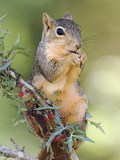 Eastern Fox Squirrel Eating Berries, Uvalde County, Hill Country, Texas, USA