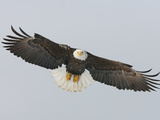 Bald Eagle Flying with Full Wingspread, Homer, Alaska, USA