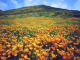 California Poppies, Lake Elsinore, California, USA
