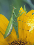 Female Praying Mantis with Egg Sac on Sunflower