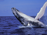Humpback Whale Breaching, Dominican Republic, Caribbean Photographic Print