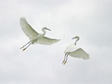 Snowy Egrets Fighting, Sanibel, Florida, USA