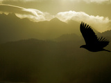 Silhouette of Bald Eagle Flying Against Mountains and Sky, Homer, Alaska, USA