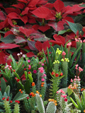 Christmas Poinsettias with Flowering Cactus in Market, San Miguel De Allende, Mexico