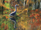 Great Blue Heron in Fall Reflection, Adirondacks, New York, USA