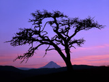 Windswept Pine Tree Framing Mount Hood at Sunset, Columbia River Gorge National Scenic Area, Oregon