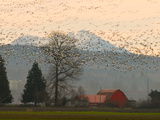 Flock of Snow Geese Take Flight, Mt. Baker and Cascades at Dawn, Fir Island, Washington, USA