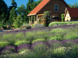 Lavender Field and Gift Shop, Sequim, Washington, USA