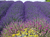 Lavender Field, Sequim, Washington, USA