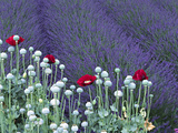 Lavender Field and Poppies, Sequim, Olympic National Park, Washington, USA