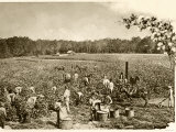 African-American Field-Hands Picking Cotton in the Deep South, c.1890