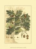 Antique Oak Tree