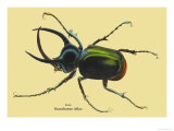 Beetle: Scarabaeus Atlas of Java