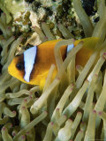 Buy Close-Up of Clown Fish and Sea Anemones, off Sharm El-Sheikh, Sinai, Red Sea, Egypt at AllPosters.com