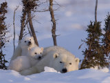 Polar Bear with Cubs, (Ursus Maritimus), Churchill, Manitoba, Canada