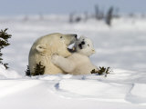 Polar Bear with a Cub, (Ursus Maritimus), Churchill, Manitoba, Canada