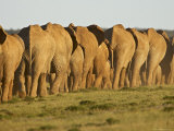 Line of African Elephants (Loxodonta Africana), Addo Elephant National Park, South Africa, Africa