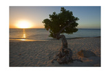 Fofoti Divi Tree at Sunset Aruba