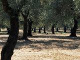 Olive Grove, Puglia, Italy, Europe
