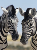 Two Burchell's Zebra, Equus Burchelli, Etosha National Park, Namibia, Africa
