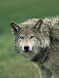 Grey Wolf, Canis Lupus, in Captivity, United Kingdom, Europe