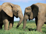 Two African Elephants, Loxodonta Africana, Addo, South Africa, Africa