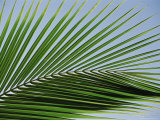 Close-up of Palm Leaf at Ko Samet Island, Rayong, Thailand, Asia
