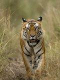 Bengal Tiger, (Panthera Tigris Tigris), Bandhavgarh, Madhya Pradesh, India